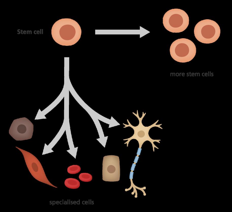 Stem Cell division